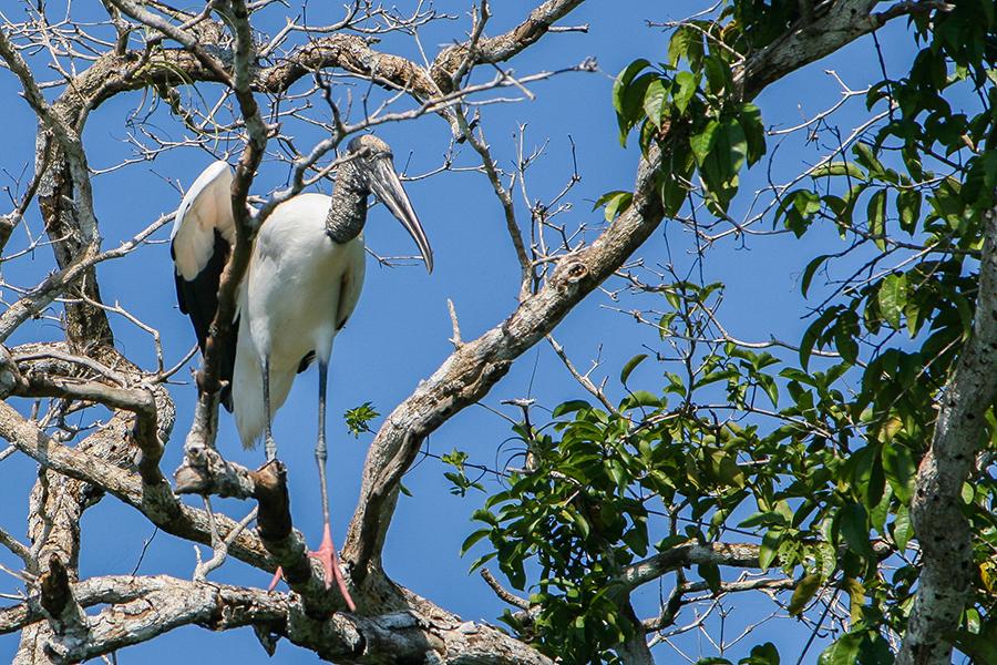 Belize cicogna