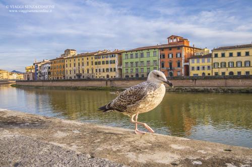 Pisa - Gabbiano sul lungarno